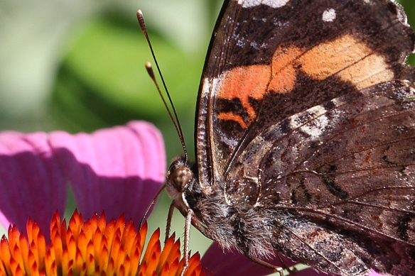 red admiral eye and antennae