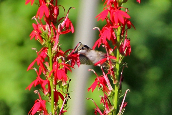 ruby throated hummingbird on cardinal flower