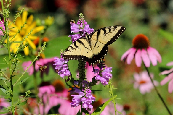 tiger swallowtail butterfly on obedient plant