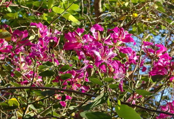 orchid tree, Bauhinia sp.