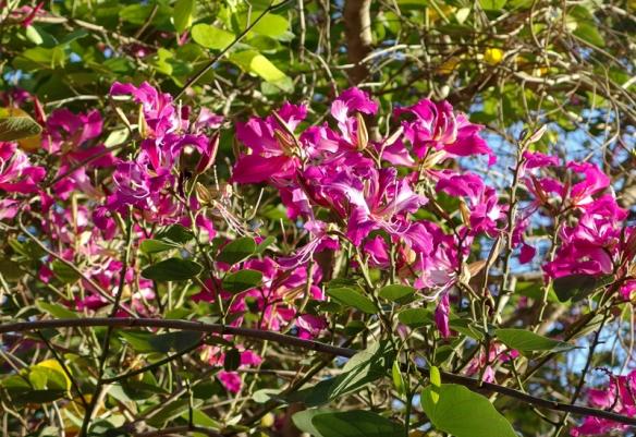 orchid tree, Bauhinia sp.