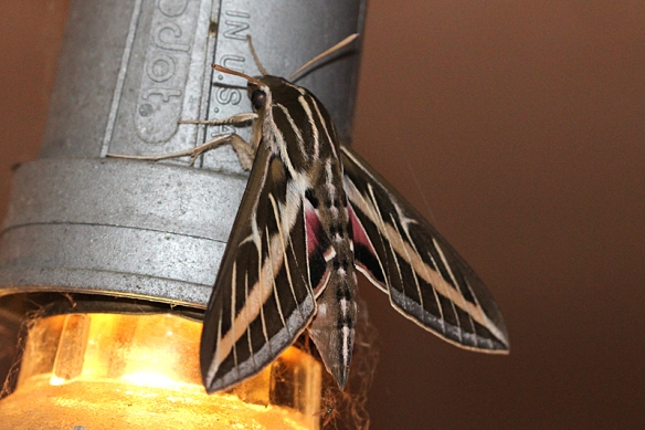 white-lined sphinx moth, Hyles lineata