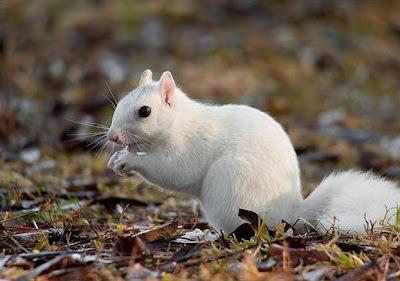 leucistic gray squirrel