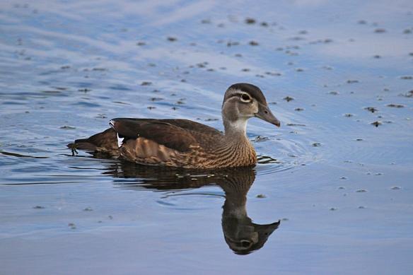 wood duck juvenile male