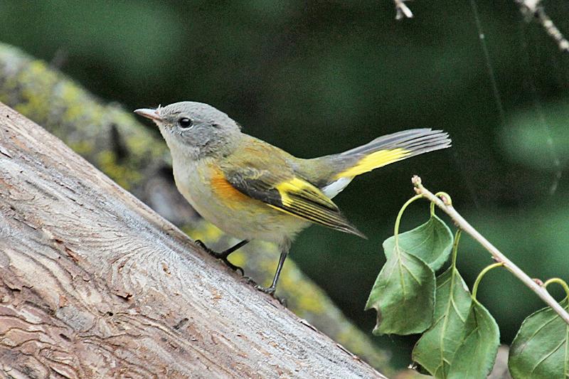 American Redstart, Identification, All About Birds ...