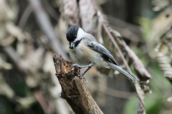 black capped chickadee stashing a seed