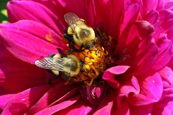 bumblebees and dahlias