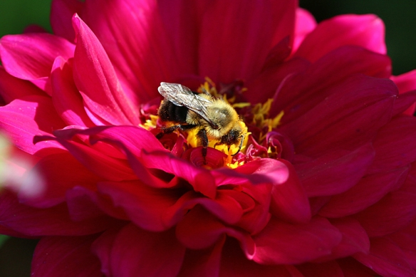 bumblebees and dahlias