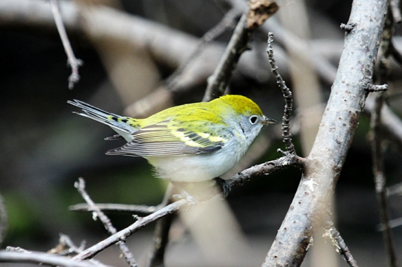 chestnut-sided warbler-fall plumage
