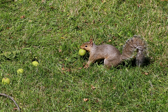 gray squirrel with walnuts