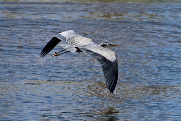 great-blue-heron flying