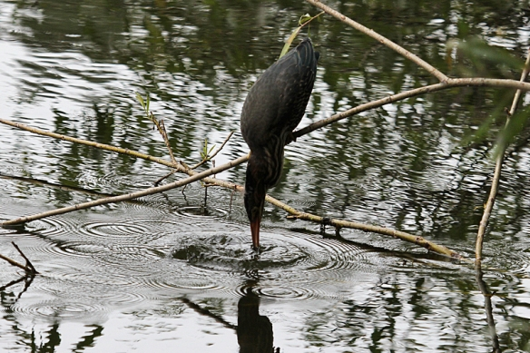 green heron fishing