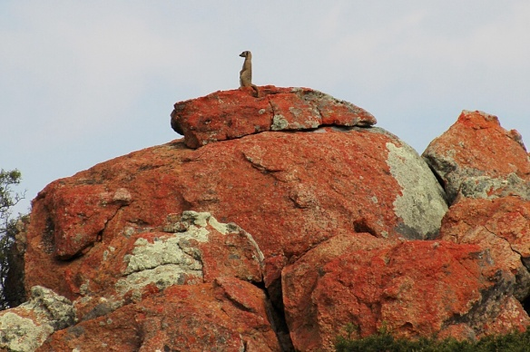 Meerkat sentry on top of a rocky outcrop in Namaqualand