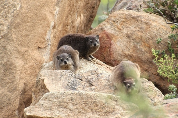 Rock hyrax, Namaqualand, South Africa