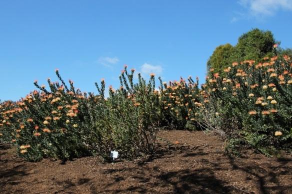 Protea at Kirstenbosch Garden, CapeTown