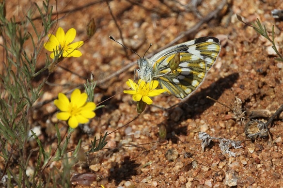 Namaqualand butterfly