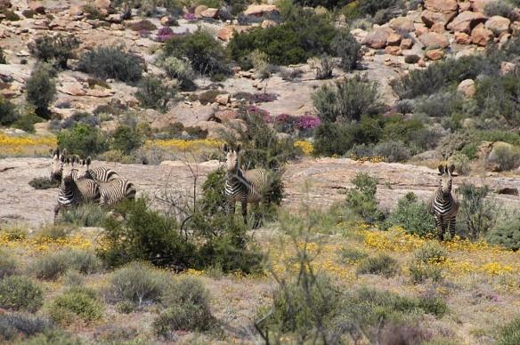 Mountain Zebra at Goegap National Park near Springbok, South Africa