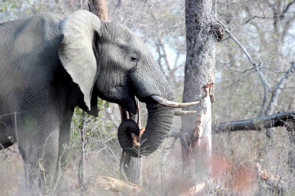 African elephant chewing on a tree branch