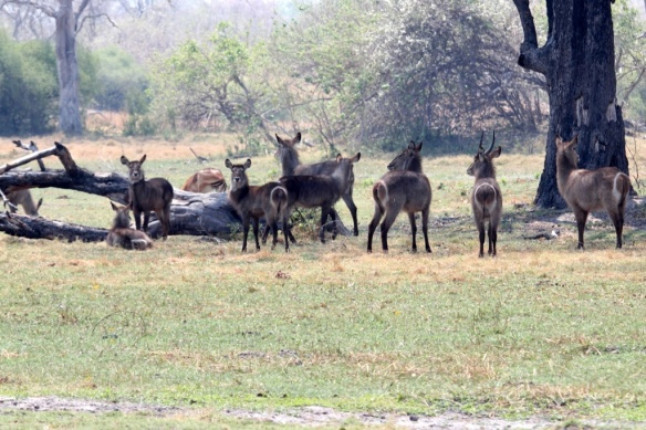 Waterbucks in the Okavango delta