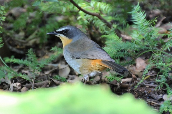 Cape Robin-Chat, Cape Town, South Africa
