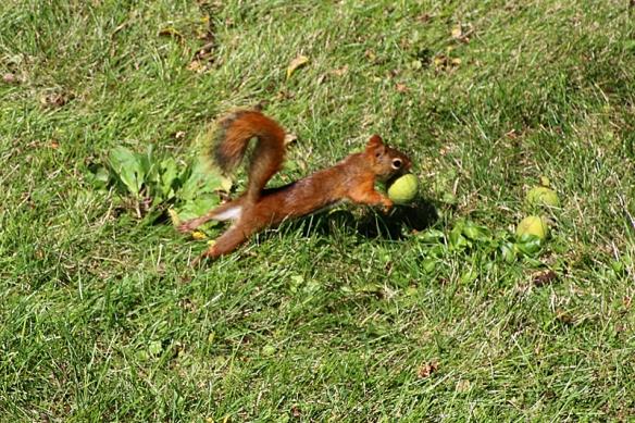 red squirrel harvesting walnuts