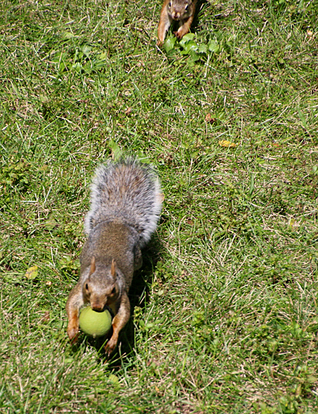 red squirrel chasing gray squirrel