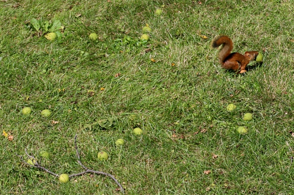 red squirrel harvesting walnuts