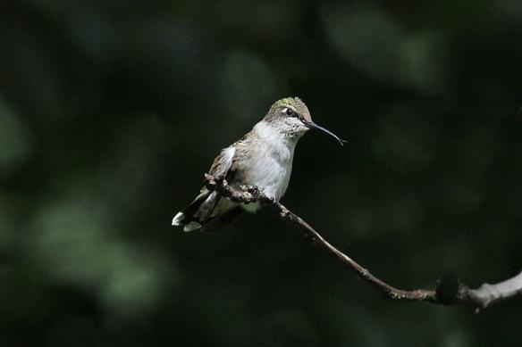 ruby-throated hummingbird-underexposed