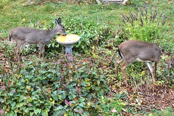 deer eating in the garden