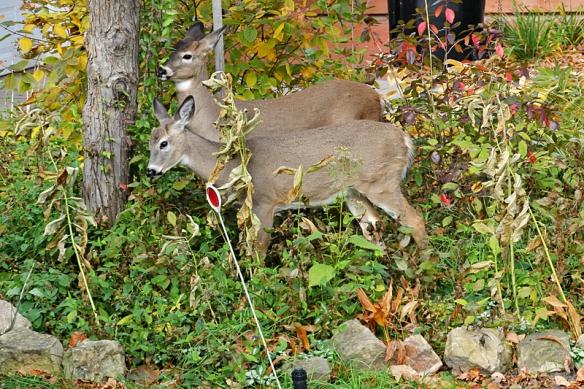 deer eating in the garden
