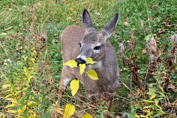 deer eating in the backyard