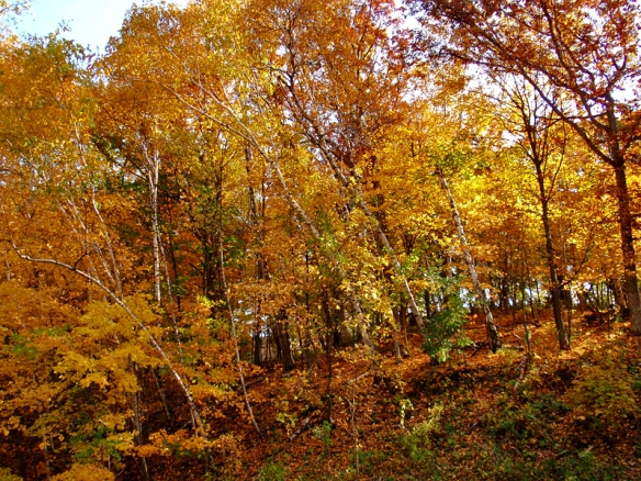 fall color in a birch-maple forest
