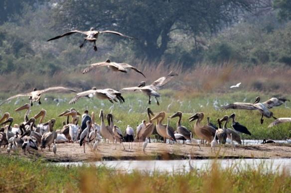 African white pelican in Okavango delta
