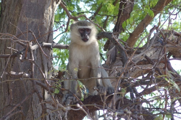 Male vervet monkey