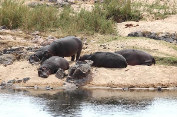 Basking hippos, Kruger Park, South Africa