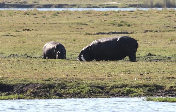 Hippos foraging at sunset, Chobe national park, Botswana