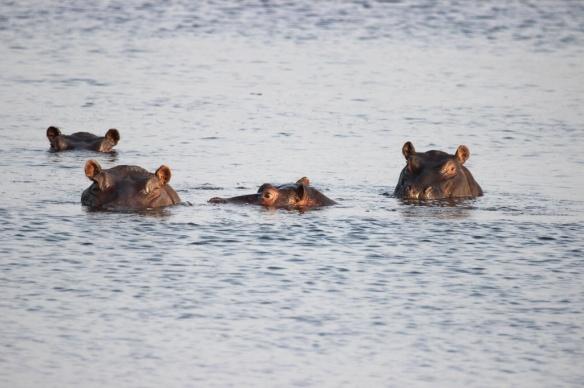 A pod of hippos