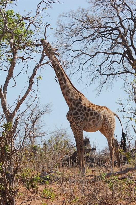 Giraffe feeding on high vegetation