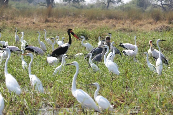 Storks and herons in the Okavango delta
