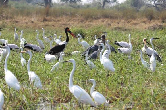 Storks and herons in the Okavango delta