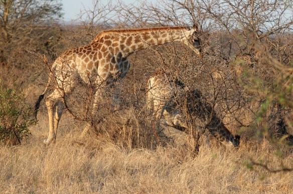 Giraffes feeding on a carcass in Botswana