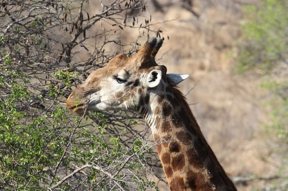 Male giraffe feeding on acacia