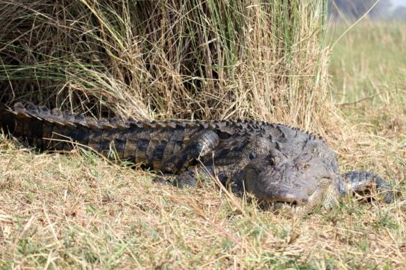 African crocodile in the Okavango delta