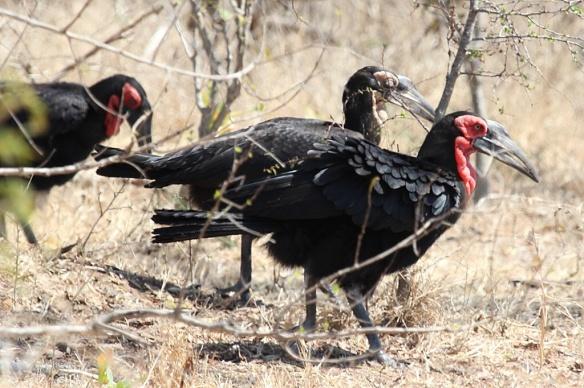 Ground Hornbill family in Kruger national park, South Africa