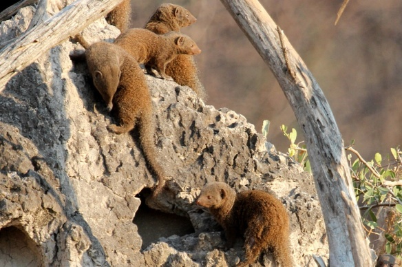 Dwarf Mongoose colony