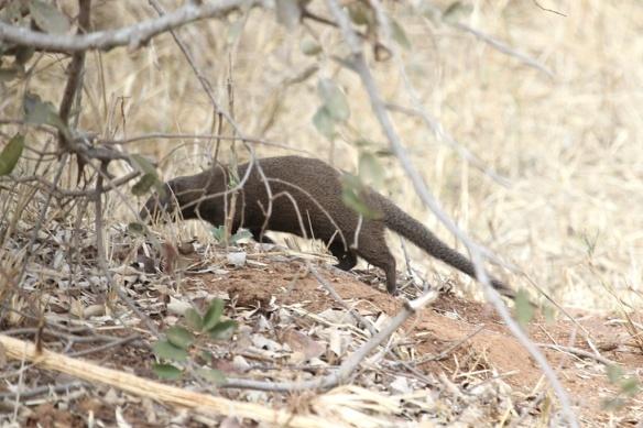 Dwarf Mongoose foraging