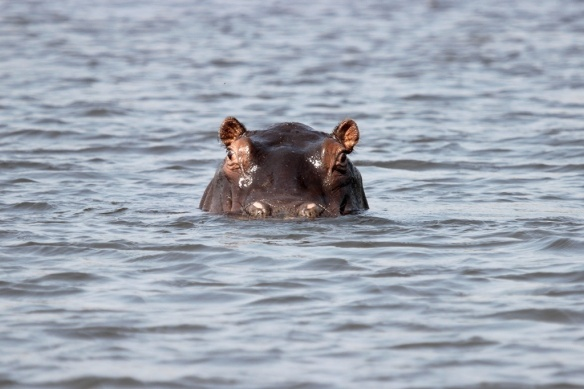Hippo in Okavango delta