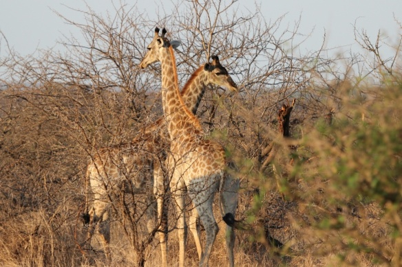 "Young male giraffes ""necking"" each other"