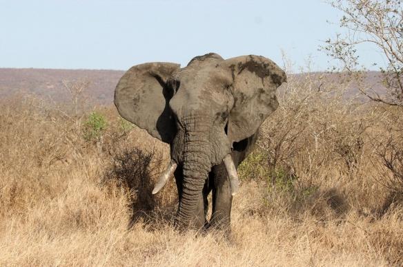 Bull elephant at Kruger Park, S. A.