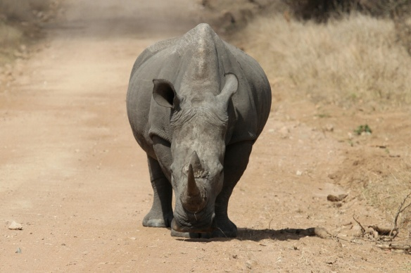 White rhino, Kruger Park, S.A.